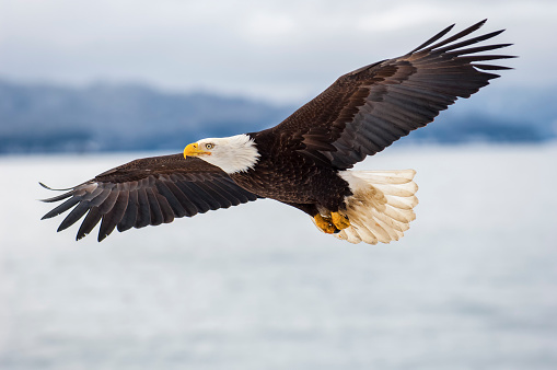 Bald eagle flying over icy waters 681388560