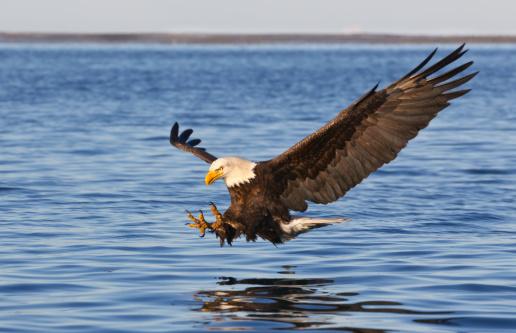 Bald Eagle Flying 117146367