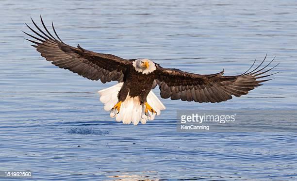 Águila de cabeza blanca volando
