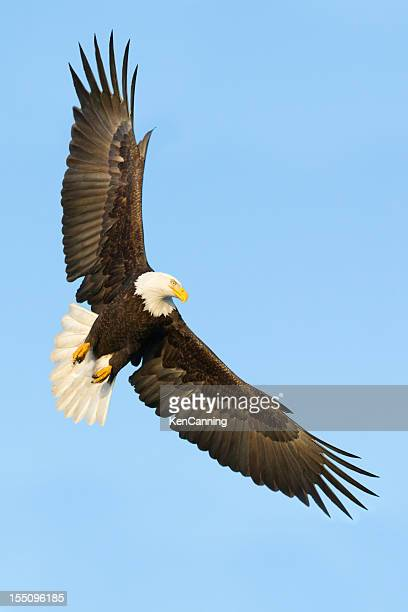 bald eagle flying - eagle flying stock pictures, royalty-free photos & images