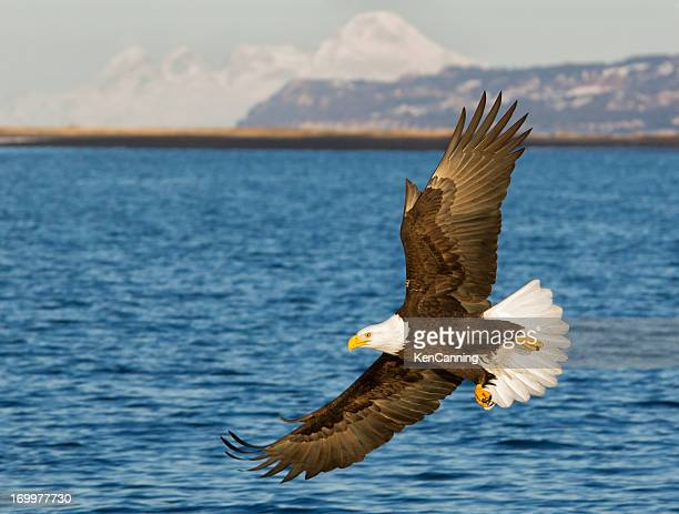 bald eagle flying - eagle stock pictures, royalty-free photos & images