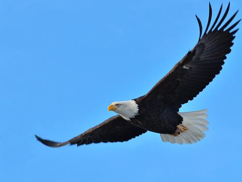 Bald Eagle Flying 639129088