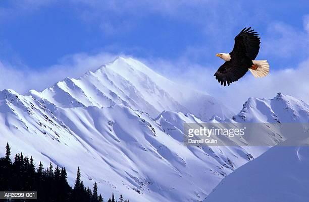 bald eagle (haliaeetus leucocephalus) flying (composite) - chugach mountains stock pictures, royalty-free photos & images