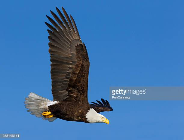 bald eagle flying through the blue sky - eagle flying stock pictures, royalty-free photos & images