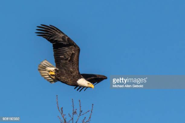 Bald Eagle Flying with a Blue Sky Background