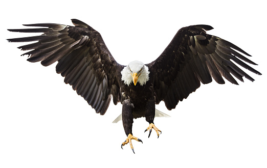 Bald Eagle flying with American flag 857708580