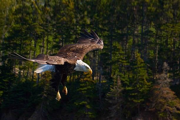 Bald Eagle Flying With Backdrop Of Trees Wall Art