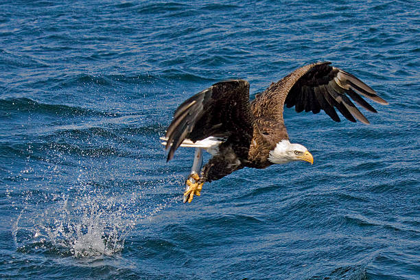 Bald eagle flying with fish in talons