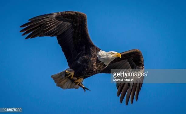 bald eagle flying  with fish - eagle stock pictures, royalty-free photos & images