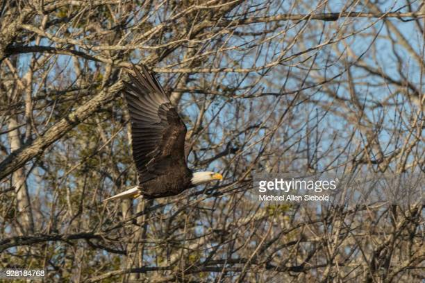 Bald Eagle Flying With Trees in the Background