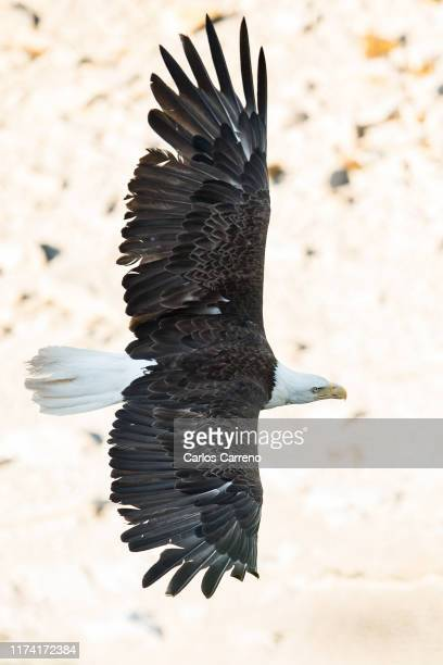 bald eagle from above - spread wings stock pictures, royalty-free photos & images