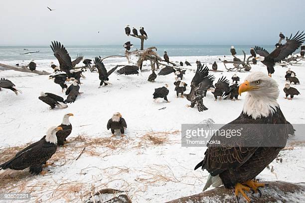Bald eagle (Haliaeetus leucocephalus) gathering