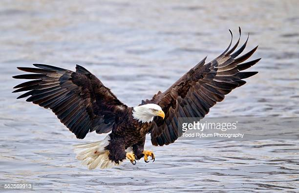 Bald eagle getting ready to fish