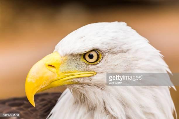 Bald Eagle Glances To One Side