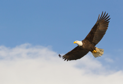 Bald eagle gliding against blue sky and white wispy clouds 168511255