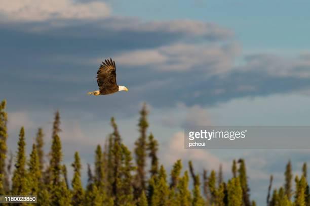 bald eagle, haliaeetus leucocephalus, in alaska. national bird of the united states of america. - bald eagle stock pictures, royalty-free photos & images