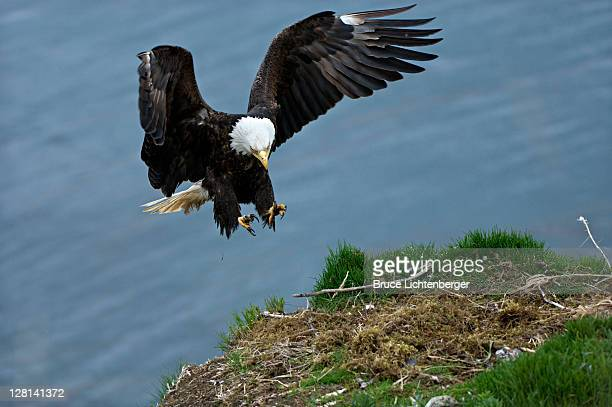 bald eagle, haliaeetus leucocephalus, in flight landing on nest. unalsaka island, dutch harbor, alaska. usa - dutch culture stock photos and pictures