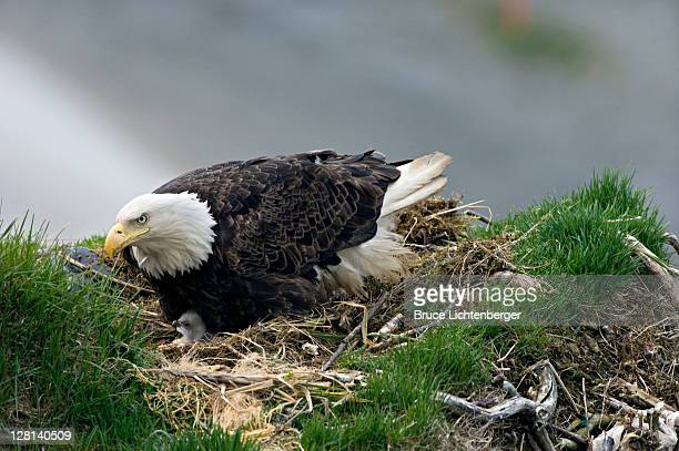 bald eagle, haliaeetus leucocephalus, nesting with chicks. unalsaka island, dutch harbor, alaska. usa - hawk nest stock photos and pictures