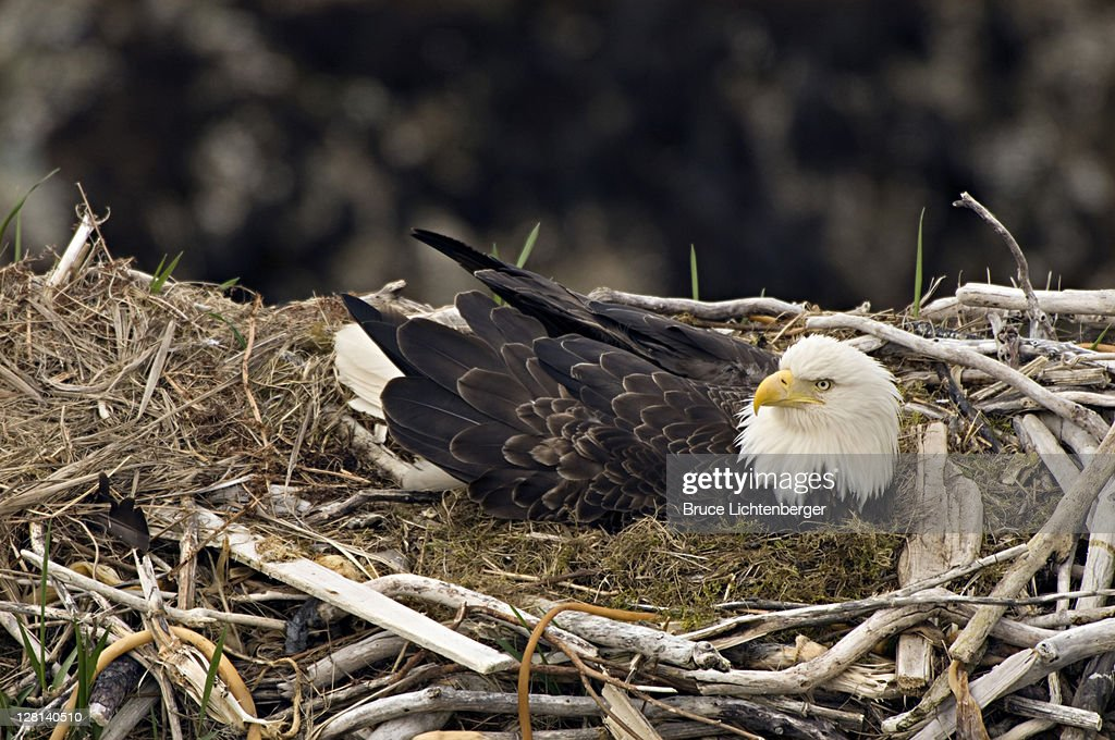 Bald Eagle, Haliaeetus leucocephalus, on nest with chicks. Unalsaka Island, Dutch Harbor, Alaska. USA : Stock Photo