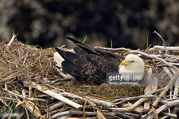 bald eagle, haliaeetus leucocephalus, on nest with chicks. unalsaka island, dutch harbor, alaska. usa - hawk nest foto e immagini stock
