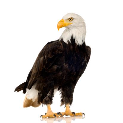 Bald Eagle (22 years) - Haliaeetus leucocephalus 93212892