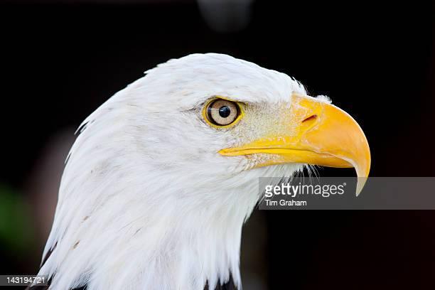 Bald eagle Haliaeetus leucocephalus UK