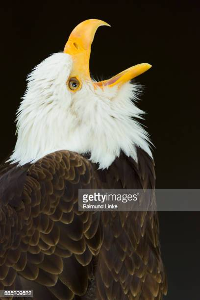 Bald Eagle, Haliaetus leucocephalus, Portrait, Germany