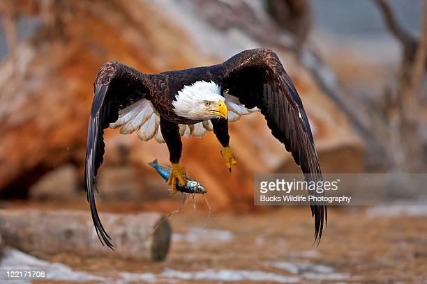 Bald eagle head in mid air