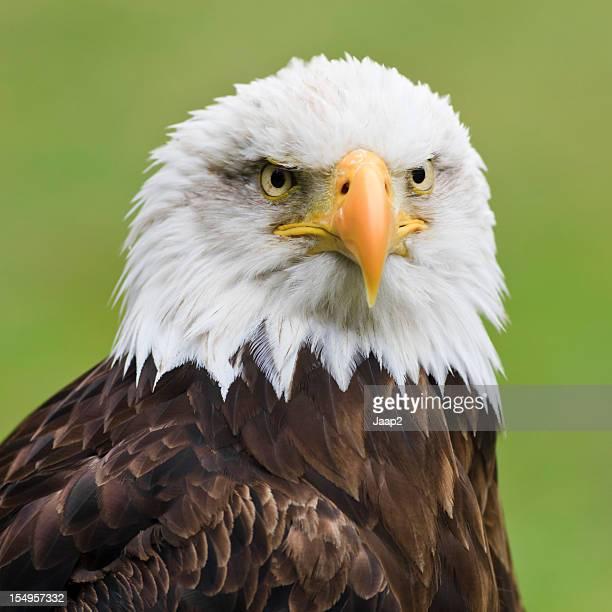 Bald Eagle headshot close-up on green background