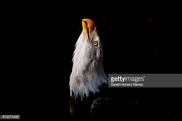 Bald eagle headshot looking up detail with black background. Haliaeetus leucocephalus