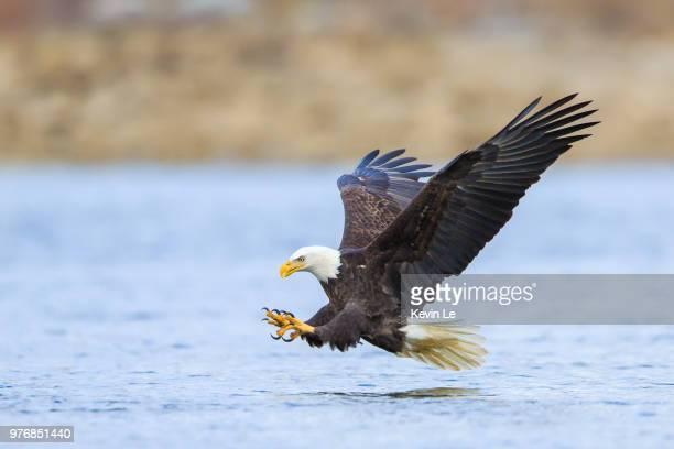 Bald eagle hunting, Conowingo, Maryland, USA