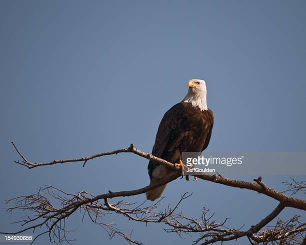 bald eagle in a tree - jeff goulden stock pictures, royalty-free photos & images
