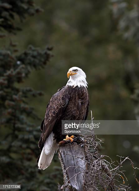 Bald Eagle in Aspen, Colorado