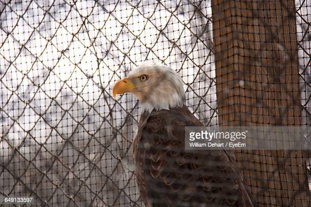 Bald Eagle In Cage