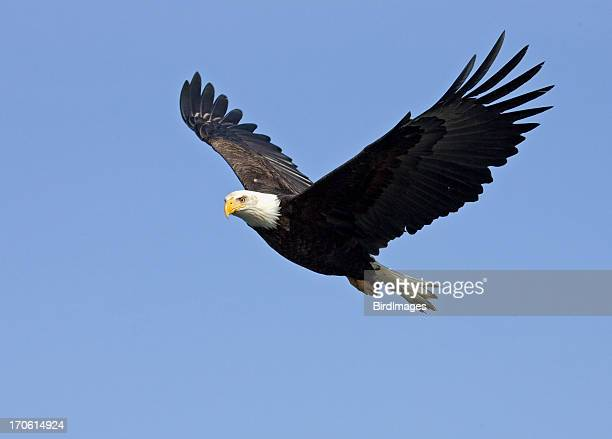 Bald Eagle in Flight, Alaska