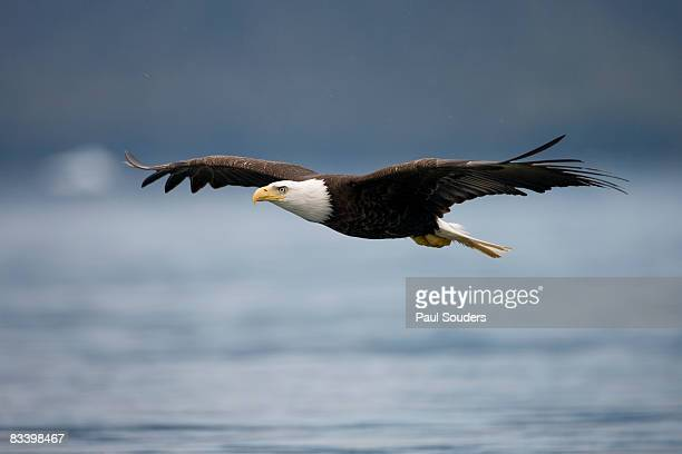 bald eagle in flight, alaska - eagle flying stock pictures, royalty-free photos & images