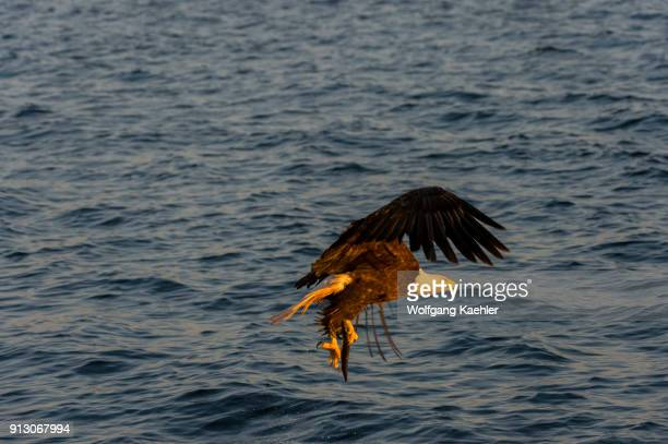 Bald eagle in flight coming in to catch a fish near Baddeck on Bras d'Or Lake Nova Scotia Canada