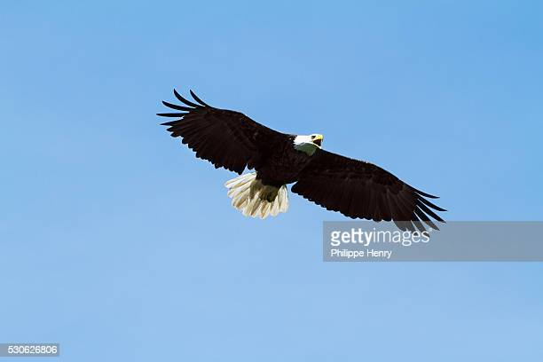 bald eagle (haliaeetus leucocephalus) in flight, forillon national park; quebec, canada - forillon national park stock pictures, royalty-free photos & images