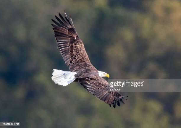 bald eagle in flight, haliaeetus leucocephalus - bald eagle stock photos and pictures