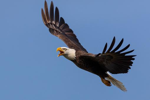 Bald Eagle in flight 1093253752