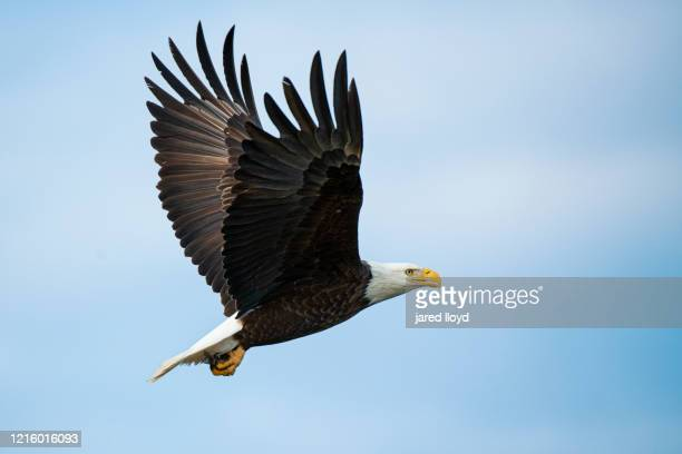 bald eagle in flight - bald eagle stock pictures, royalty-free photos & images