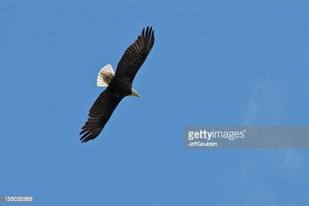 bald eagle in flight - jeff goulden stock pictures, royalty-free photos & images