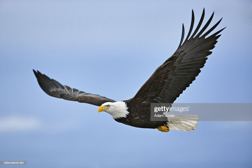 Bald eagle (Haliaeetus leucocephalus) in flight : Stock Photo