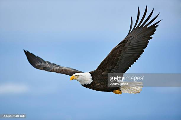 bald eagle (haliaeetus leucocephalus) in flight - volare foto e immagini stock