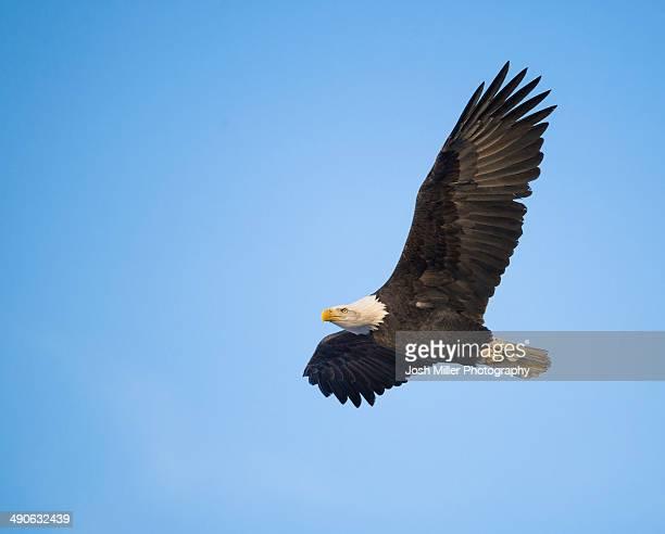 bald eagle (haliaeetus leucocephalus) in flight - 一匹 ストックフォトと画像