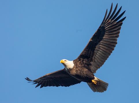 Bald Eagle in Flight 626068408