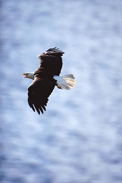 Bald Eagle (Haliaeetus Leucocephalus) In Flight Wall Art