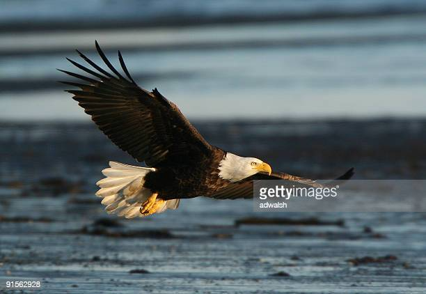 bald eagle in flight - eagle flying stock pictures, royalty-free photos & images