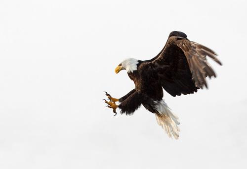 Bald Eagle In Flight - White Background, Alaska 171585265