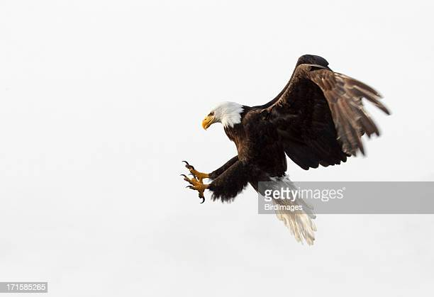 bald eagle in flight - white background, alaska - eagle stock pictures, royalty-free photos & images
